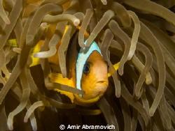 clown fish by Amir Abramovich