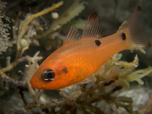 "Cardinalfish taken ""Under the bridge"" with Canon G12 and ... by Beate Seiler"