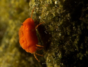 Limnochares Wrinkled water mite, unable to swim,  hunt... by Chris Krambeck