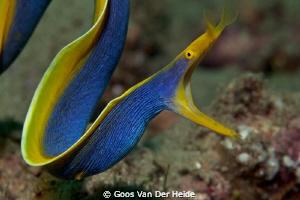 Hunting Blue Ribbon Moray Eel by Goos Van Der Heide