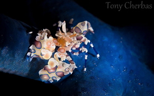 Harlequin Shrimp going out to dinner at the Blue Star Din... by Tony Cherbas