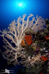 Big Gorgonian by Pietro Cremone