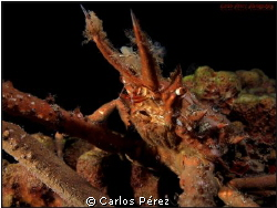 Decorator Crab Potrait II by Carlos Pérez