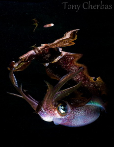 Night Spirit: Squid + Reflection by Tony Cherbas