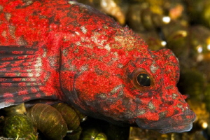 Baikal red bullhead by Mathieu Foulquié