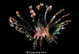 lion fish by Jagwang Koo
