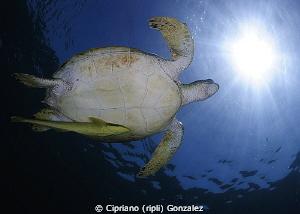 Marsa Alam turtle by Cipriano (ripli) Gonzalez