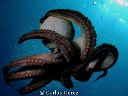 """Dancing Octopus I"" by Carlos Pérez"