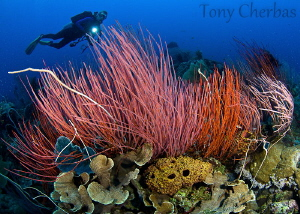 Trail of Neon Whips: Kimbe Bay, Papua New Guinea by Tony Cherbas