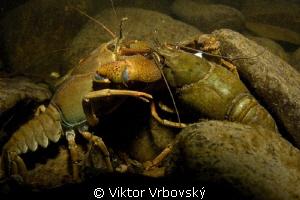 Fight of Noble Cryfish (Astacus astacus) by Viktor Vrbovský