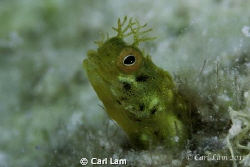 Golden Goby Living in a Great Star coral. by Carl Lam
