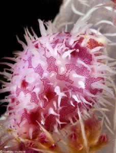 Pseudosimnia sinensis by Mathieu Foulquié
