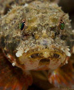 Mushroom Scorpion fish. Night dive at the Blue Heron Brid... by John Roach
