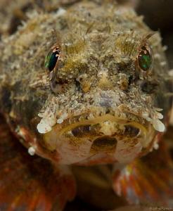 Mushroom Scorpion fish. Night dive at the Blue Heron Brid... by John Roach