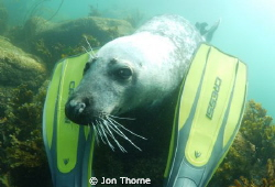 A Scilly grey seal that was keen to play by Jon Thorne