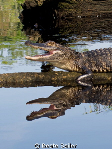 Smiling Gator , taken at St. Marks River FL by Beate Seiler