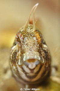blenny portrait at Yassiada by Taner Atilgan
