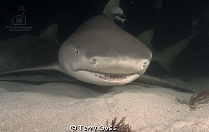 Something WAS under my bed!... Negaprion brevirostris, Ti... by Terry Goss