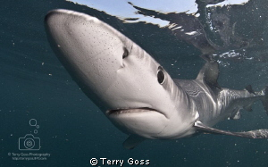 Ha-chachacha!... Prionace glauca, though this guy is perh... by Terry Goss
