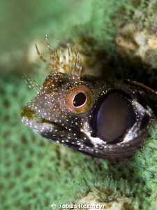 Browncheek Blenny at Zorritos, San Carlos by Tobias Reitmayr