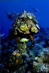 "French Grunt takes refuge under coral ""umbrella."" Taken o... by Matthew Shanley"
