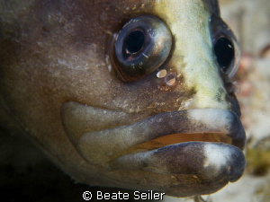 Soapfish taken at the Jetties by Beate Seiler