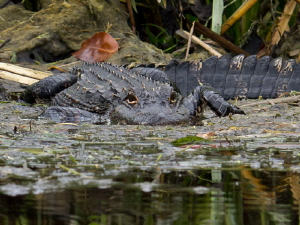 Gator at Wakulla River by Beate Seiler