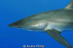 this silky shark crossed me in a touchable distance... by Andre Philip