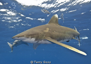 The Pace Quickens - two oceanic whitetips (Carcharhinus l... by Terry Goss