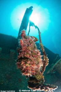 Giant frogfish living in a wreck by Mehmet Salih Bilal