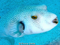 Pufferfish by Enora Seite