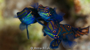 Mating of Mandarin fishes. Special moment! (they are three) by Anna Bilyk