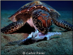 For the end of my 2012 diving year ,This Green baby turtl... by Carlos Pérez