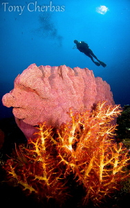 Vanessa's Reef,  Kimbe Bay, PNG by Tony Cherbas