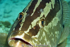 Nassau Grouper at Hawksbill Reef, Exumas by Tobias Reitmayr