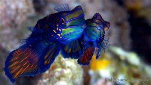The male is big and handsome (left), the female is small ... by Iyad Suleyman