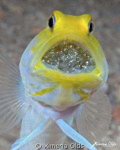 Yellow head Jawfish with Eggs. Roatan-Honduras by Ximena Olds
