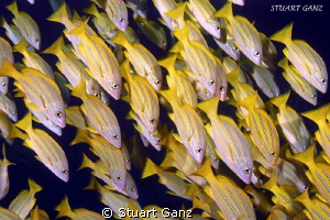 School of Bluestripe Snapper by Stuart Ganz
