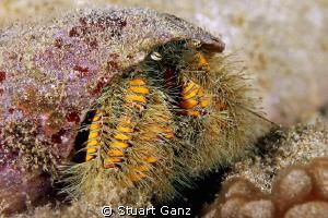 Hairy Hermit Crab by Stuart Ganz