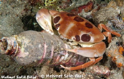 This crab in night dive blames us for sea pollution! by Mehmet Salih Bilal