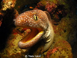 Yellow Mouth Moray by Yoav Lavi