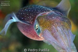 Squid by Pedro Padilla