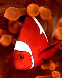 Half a clown, twice the laughter. (Maroon clownfish in or... by Michael Canzoniero