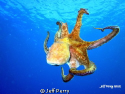 Octopus while diving one of my favorite spots in Puerto R... by Jeff Perry