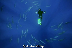 freediver with a school of amberjacks by Andre Philip