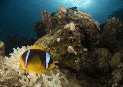 On a reef in Marsa Alam  Red Sea  A baby anemone fish wi... by Graham Watters