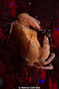 Urchin hosted crab by Mehmet Salih Bilal