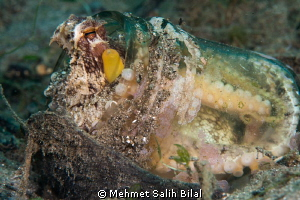 Coconut octopus's transparent house. by Mehmet Salih Bilal