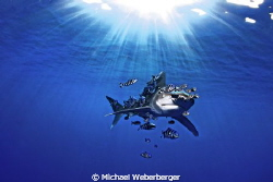 Longimanus sunbathing !!! by Michael Weberberger