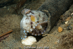 Coconut octopus lives in a wooden house! by Mehmet Salih Bilal